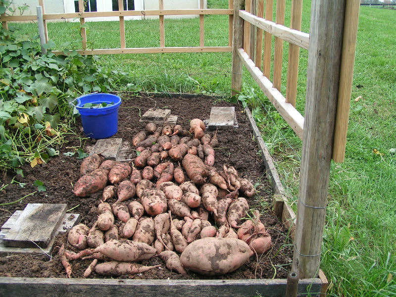 A good year for sweet potatoes & Sweet Potato Harvest u2013 House Farm u0026 Garden