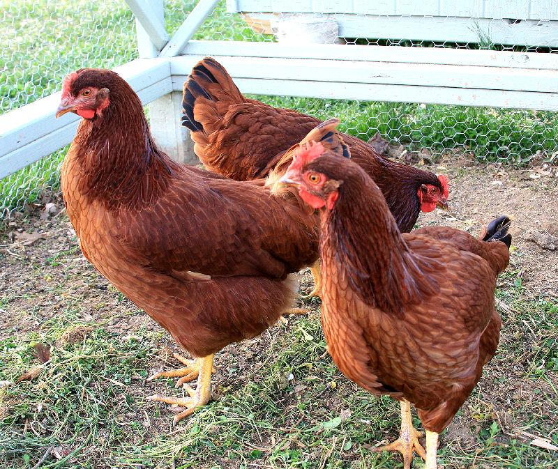 Chicken Troupe